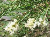 Olio essenziale dell'albero del tè di 40% usato come additivi alimentari