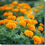 (برتقالين) - [أنتيوإكسيدنت] عناية من أعين برتقالين