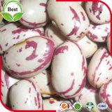 有機性ライト斑入りの腎臓豆