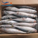 New Landing Whole Round Pacific Mackerel