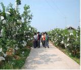 O uso da fruta e a proteção biodegradável da uva da caraterística crescem o saco de papel da coberta