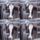 Headlocks van uitstekende kwaliteit van het Landbouwbedrijf van de Koe Gegalvaniseerde ZuivelApparatuur