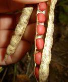 Feijão vermelho da colheita nova da origem de China