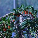 セイヨウカリンLbpの性質の寧夏のオオカミの果実