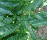 自然なCorosolic酸のBanabaの葉のエキス