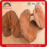 Alta calidad Ganoderma Lucidum P. E / Reishi P. E / Seta Reishi