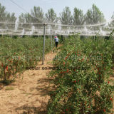 Bacca secca organica di Goji della nespola del Ningxia (Wolfberry)