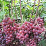 Aminosäure-Puder-organisches Düngemittel-Pflanzenquelle