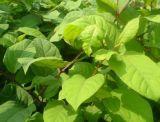 Polygonum Cuspidatum Auszug 50%-99%Resveratrol für natürliche Ergänzung