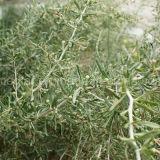 Мушмулы выпарки пестицида черное Wolfberry Non