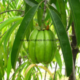 자연적인 Garcinia Cambogia 추출 50% Hca