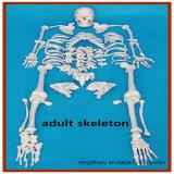 Modelo de esqueleto humano cheio de Disarticulated, esqueleto adulto alto de 170cm com crânio