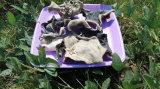 乾燥する白の背部健康の菌の黒