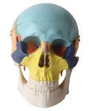 3 parti di modello colorato umano del cranio
