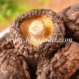 Лето засаживая высушенный ровный овощ гриба Shiitake