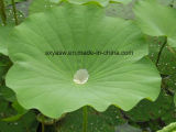 自然なロータス葉のエキス2% Nuciferine