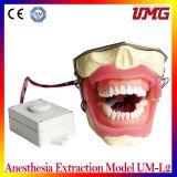 Modello dentale Um-L2 dell'estrazione di anestesia dei prodotti della Cina