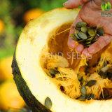 Стержень семени тыквы нового урожая 2016 китайский зеленый