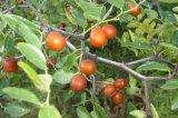 Jujubosides/estratto seme della giuggiola/estratto selvaggio della giuggiola