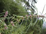 自然なLeonurus Sibiricus/Motherwortのハーブのエキス