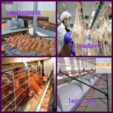 Gaiola para Chicken em Poultry House com Good Price From Factory
