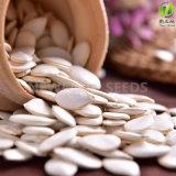 2016 Nueva Cosecha blanco como la nieve semillas de calabaza 11-14cm para la Exportación