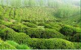 Tè verde organico