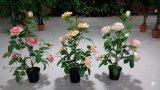 高品質の多彩なホーム装飾の人工絹のローズの花のBonsai 8035