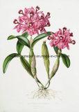 Dendrobium 추출, 음식 보충교재를 위한 알카로이드 1%-20%