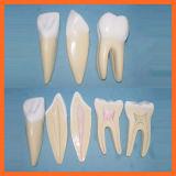 Modèle d'incisive, de canine et de molaire, modèle d'expansion des dents humaines