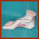 Modelo Médico arqueado humano Pie humano Modelo anatómico del pie