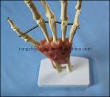 Модель естественного соединения руки размера каркасная с лигаментами