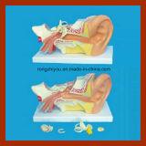 5 parties neuves de modèle anatomique de grande oreille gauche humaine