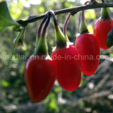 Frutos secos Goji de Barbarum Wolfberry do Lycium da nêspera