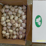 10kg Carton di Fresh White Garlic
