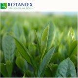 Pflanzenauszug-natürliches Antioxydant EGCG
