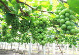 Fornecedor do fertilizante orgânico do pó do ácido aminado