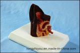 Escritorio Tipo del oído del perro Modelo modelo canino Órganos Modelo
