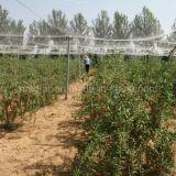 Piante organiche di Goji delle erbe della nespola