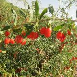 زعرور بستانيّ أحمر [غجي] [هيملن] [غجي] عنّبيّ