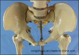 Menschlicher Skeleton medizinischer Unterrichts-anatomisches Knochen-Modell