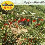 セイヨウカリンLbp有機性乾燥されたGojiの果実のオオカミの果実