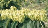 Выдержка каприфолия (выдержка Japonica Lonicera; Хлорогеновая кислота)