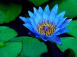 Естественный порошок выдержки лилии воды