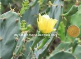 estratto di vendita caldo di iso 100%Natural & di GMP Caralluma Fimbriata/estratto del cactus per perdita di peso ed antinfiammatorio organici