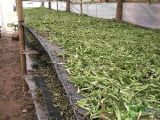 Steviosides 80%, 90%, 95%, 98% Stevia Leaf Extract