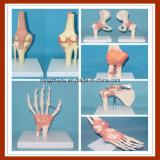Modelli uniti umani di funzione con i legamenti (mano, piede, anca, ginocchio, gomito, spalla)