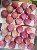 Fornitore dorato per FUJI rosso fresco cinese Apple/Qinguan Apple