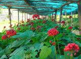 Ботаническая первоначально выдержка женьшень Кореи красная для здоровья