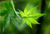 Estratto dolce naturale Rubusoside 75% del tè di 100% da HPLC